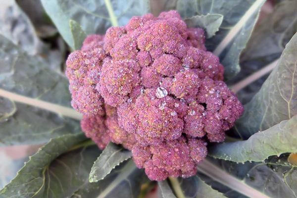 紫色のブロッコリー